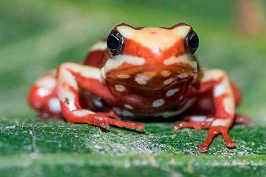 ¿Por qué las ranas venenosas no se envenenan a sí mismas? - La Tercera
