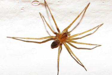 Consejos para evitar la araña de rincón y cómo reaccionar ante su mordida