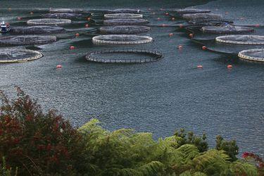 Gobierno impone mayores exigencias a jaulas salmoneras tras los últimos escapes de peces