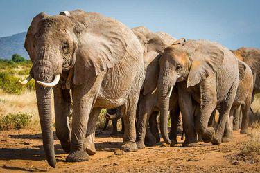 Dos especies de elefantes, oficialmente en peligro de extinción