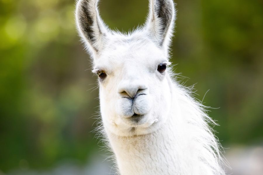 Por qué la llama y la alpaca podrían ser claves para neutralizar ...