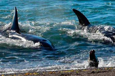 orcas-peninsula-de-valdez-1000x500