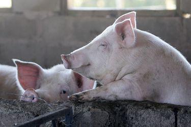 Una nueva gripe porcina podría ser la próxima pandemia; ya hay 24 vacunas probándose en humanos; otro estudio muestra la eficacia de las mascarillas: tres cosas que aprendimos del coronavirus esta semana