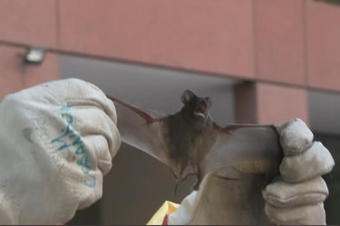 ¿Qué ocurre con los murciélagos del sector oriente de Santiago?