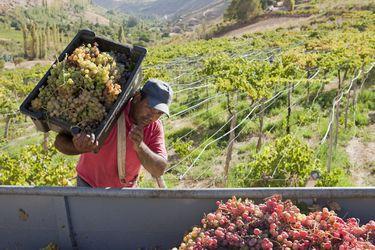 Pisco harvest Elqui