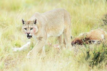PUMA (Puma concolor)