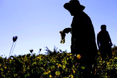 GUARILIHUE: Cosecha de Uva