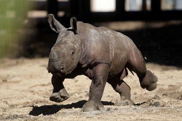 Atanasio: el primer rinoceronte blanco nacido en Latinoamérica durante la pandemia