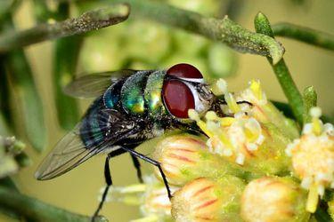 Verde y agresiva: así es la mosca invasora proveniente de África que amenaza a Chile y Sudamérica