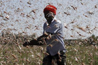 Kenia   Crean fertilizante y alimento para animales con la plaga de langostas