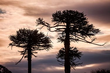 Contraloría verificó corte ilegal de al menos 51 araucarias por parte de Conaf al interior del Parque Nacional Nahuelbuta