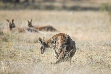 Investigan la muerte de 14 canguros en la costa sur de Australia