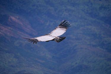 Científicos descubren que cóndores casi no aletean mientras vuelan: Mueven sus alas solo el 1% de su tiempo