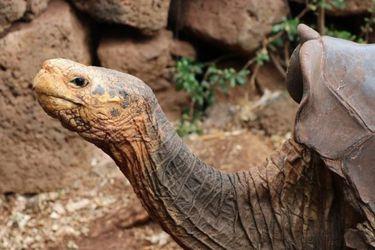 La tortuga que salvó a su especie vuelve a su hogar después de 44 años