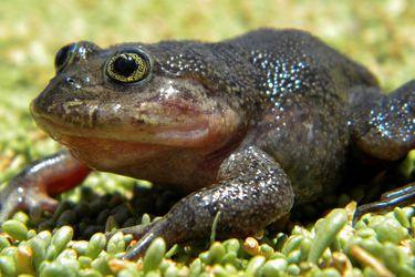 """Científicos redescubren una rana """"fantasma"""" desparecida hace décadas en una fuente termal del desierto"""