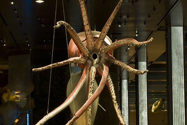 El elusivo y desconocido calamar gigante: desarrollan una innovadora técnica para filmar estas esquivas criaturas
