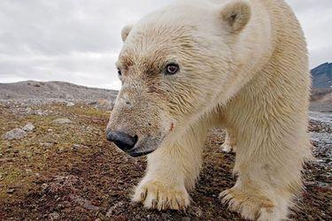 Cómo el canibalismo en los osos polares está aumentando a causa de la crisis climática