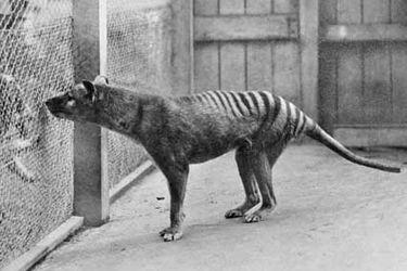 ¿Cómo lucía el extinto tigre de Tasmania? Video recrea a color el último registro de esta desaparecida especie