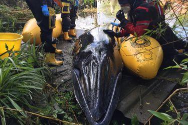 Sacrifican a cría de ballena Minke después de quedar atrapada en el río Támesis para evitarle más sufrimiento