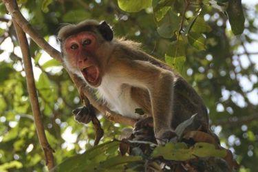 Un grupo de monos robó muestras de sangre de pacientes con COVID-19 en la India