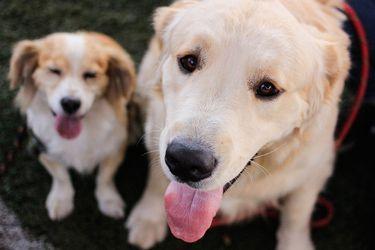 ¿Pueden los perros detectar el coronavirus?