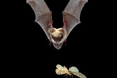Revuelo en Panguipulli por hallazgo de murciélago con rabia: ¿qué tan usual y peligroso es?