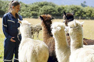 Buscan curar el virus hanta con anticuerpos de alpaca