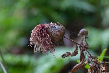 Una extraña planta con llamativas flores: investigadores descubren desconocida especie en Juan Fernández cuyo ADN se está estudiando en Europa
