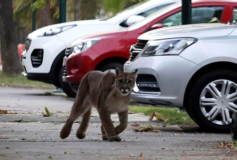 Un puma suelto por la ciudad