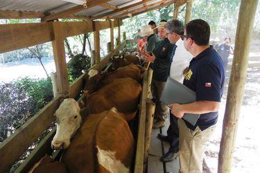 Especialistas de la PDI realizaron pericias para verificar el estado de los animales en San Fabián de Alico.