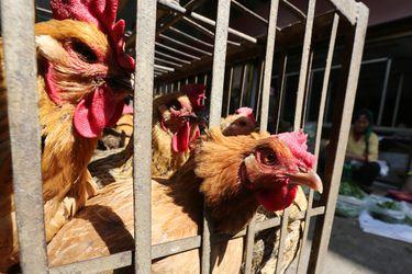"""""""En estado crítico"""": China informa de otro caso humano de gripe aviar H5N6 en un peligroso aumento de contagios"""