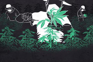"""Los """"narcoagricultores"""" tras el boom de la cannabis en Chile"""