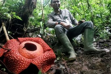 Rafflesia: así es la flor más grande del mundo que acaba de nacer en Sumatra