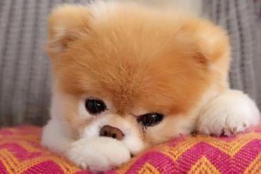 """Muerte de Boo: cómo era el famoso perro """"más lindo del mundo"""""""