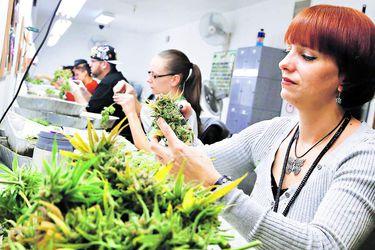 Algunas firmas de marihuana están a meses de quedarse sin efectivo