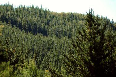 Plantaciones de Pino y Eucaliptos