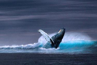 Azules, jorobadas, fin: estos son los mejores lugares para avistar ballenas en Chile