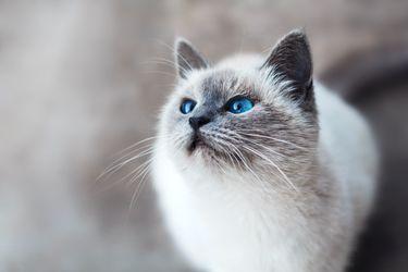 Por qué los gatos no se pueden resistir al Churu