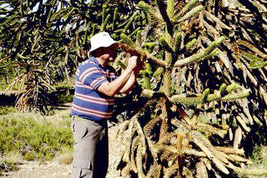Daño foliar de origen desconocido afecta al 80% de las araucarias
