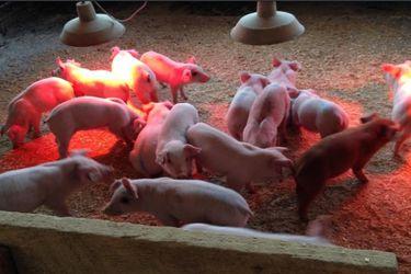 U. de Chile obtiene patente para innovadora vacuna contra la principal patología que afecta la producción de cerdos en el mundo