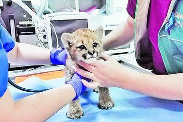 """Investigan caso de cachorro de puma rescatado: Se presume que estuvo bajo cuidado humano """"por días o semanas"""" antes de ser entregado al SAG"""